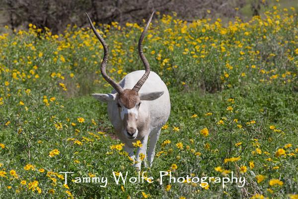 Antelope, Addax