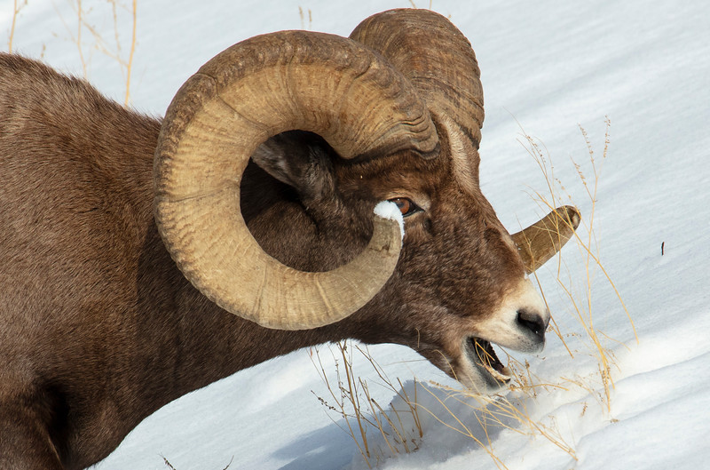 387A9311 Rocky Mtn Bighorn Sheep face only.jpg