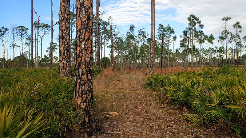 Pine trees and path between saw palmetto