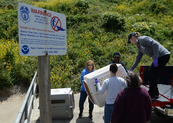 . Marine Mammal Center personnel unload California sea lions in carriers before releasing them at Chimney Rock in West Marin near Inverness, Calif. on Thursday, May 10, 2018. (Alan Dep/Marin Independent Journal)