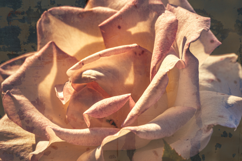 September 16 - Spots and shadows on an afternoon rose.jpg