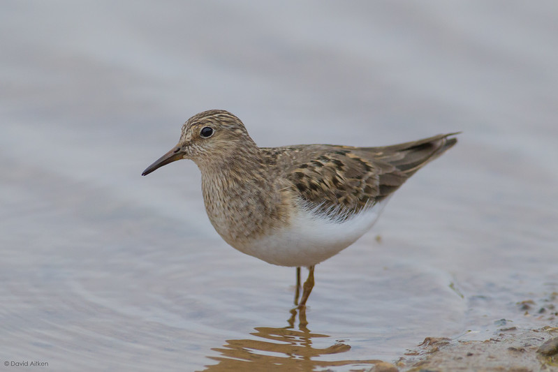 Temmincks Stint - Thornwick Pool, Flamborough, Yorkshire 16/06/15