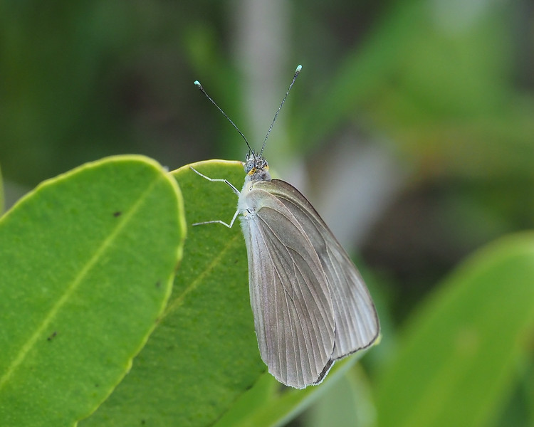Great Southern White, female