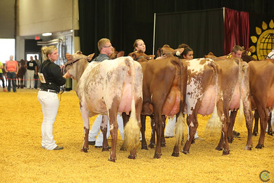 WDE Milking Shorthorn Cows 16