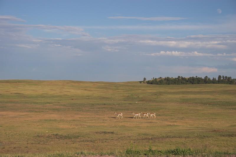 Pronghorn Antelope, Wind Caves National Park