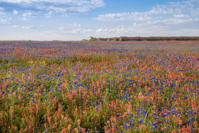 2016_4_9 Texas Wildflower Shoot-8830.jpg