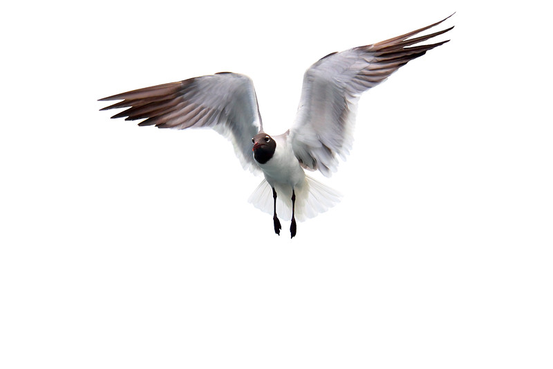 Isolated fying seagull with wings spread open. Photography fine art photo prints print photos photograph photographs image images artwork.
