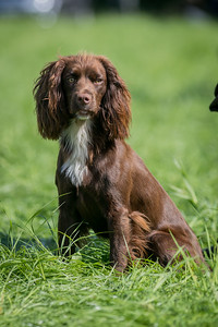 Welsh and English Counties Spaniel Club Training Day & Test