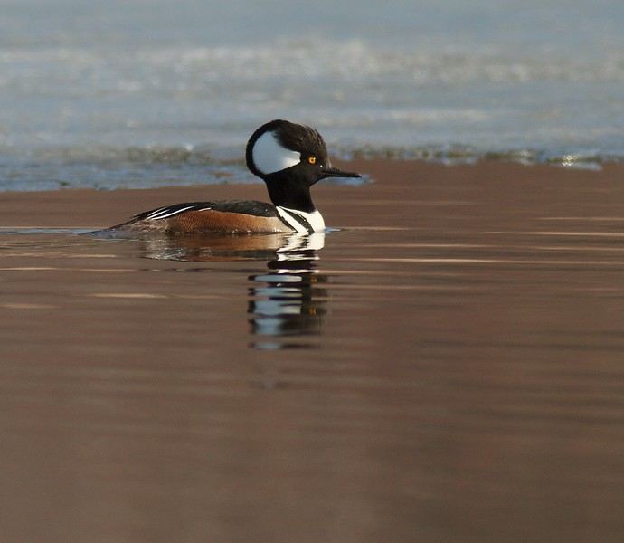 Hooded Merganser flight Perch Lk Duluth MN IMG_0035701.jpg