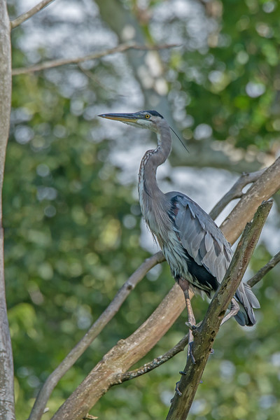 Great Blue Herron in Tree