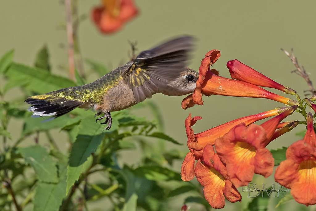 IMAGE: https://photos.smugmug.com/Photos-for-sale/Hummingbirds/i-fRp5Tr2/0/3d8ae494/XL/RT%20hummingbird%209-22-2017-4-XL.jpg