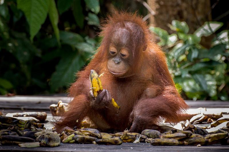Baby Orangutan studying a banana.