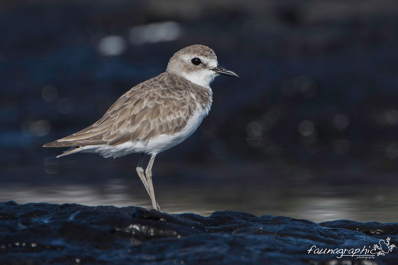 Greater Sand Plover - Juvenile