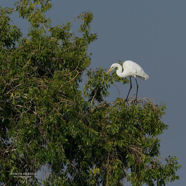 Great Egret, Chobe River, NAM, Oct 2016-5.jpg