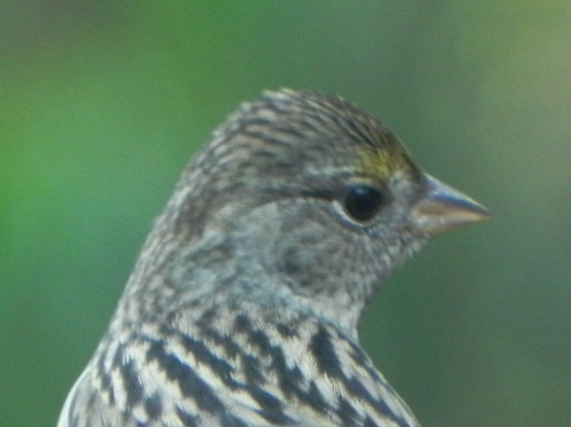Sparrow, Golden-crowned, female?