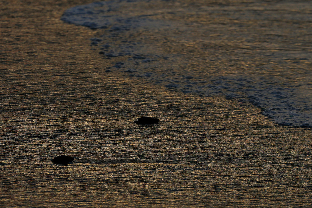 ". In this Saturday, Dec. 2, 2017 photo, olive ridley sea hatchling turtles walk to the sea in Sayulita, Nayarit state, Mexico. A local non-profit organization ""Red Tortuguera\"" is helping the turtles survive by relocating recently laid eggs to a protected area of the beach, collecting the hatchlings to keep them safe from bird attacks, and releasing them as a group every Saturday at sunset. (AP Photo/Marco Ugarte)"