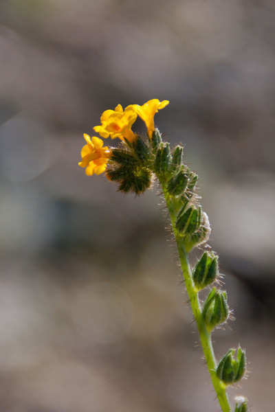 Fiddleneck--not sure which specific variety.