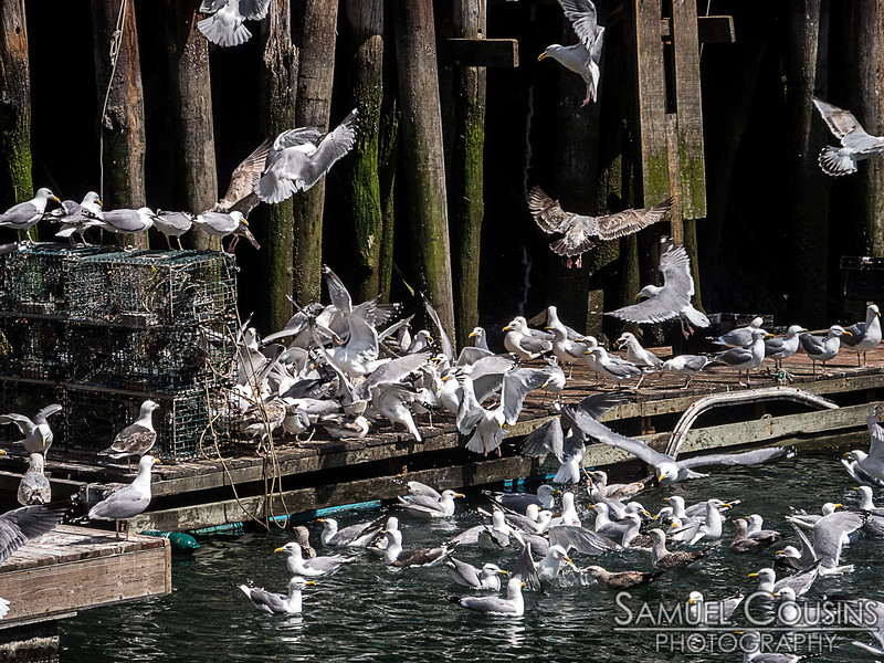 Gulls going after some ice and chum that had been dumped on the dock.