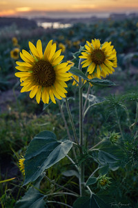 Young Sunflowers_DSC8888