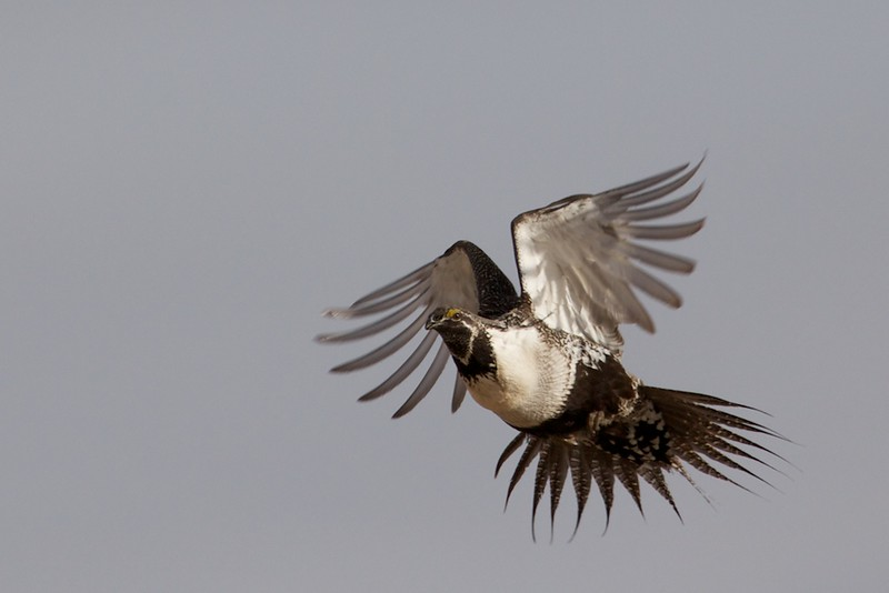 flying_grouse_1.jpg