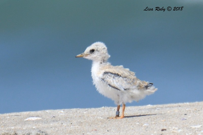 Least Tern chick  - 7/1/2018 - Imperial Beach, walking to Tijuana River Mouth