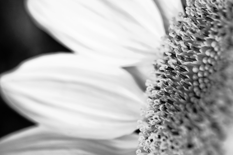 20090725_sunflowers_072BW.jpg