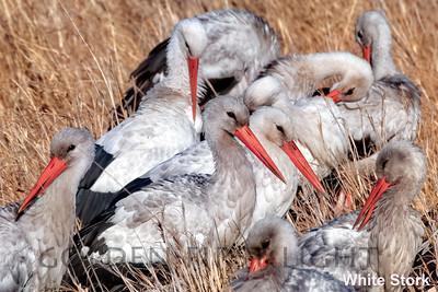 White Stork, Kenya