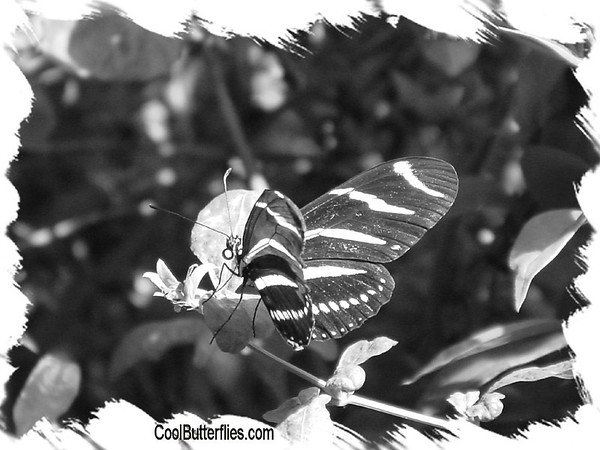 Black and White Butterfly Photos