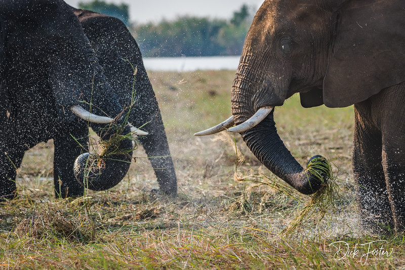 Elephant Cleaning Grass