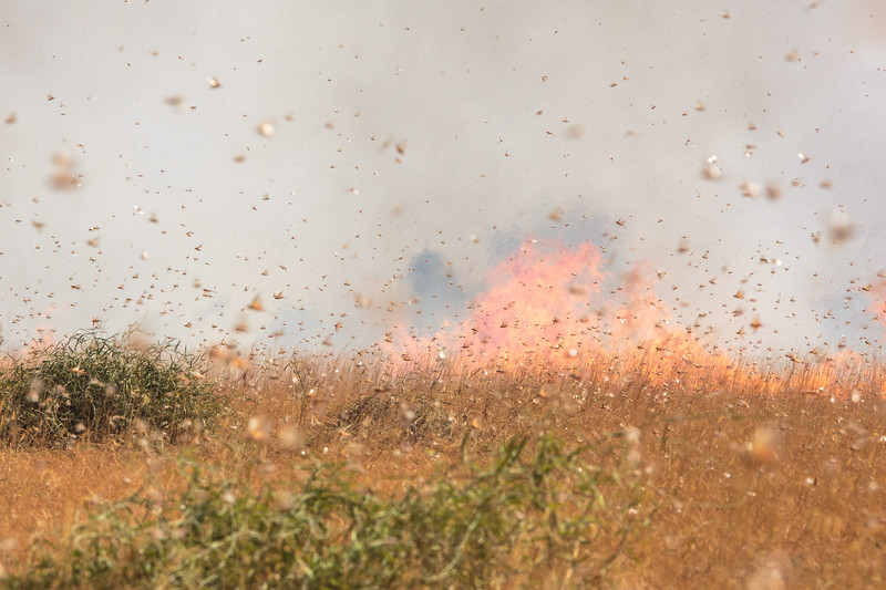 Millions of grasshoppers are driven together in an ever darkening cloud as fire rushes across the grassland. Khelcom, Senegal.
