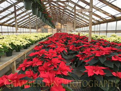 Claussen's Poinsettias