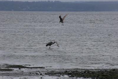 Shilshole - wildlife and low tide to Jackson's new house