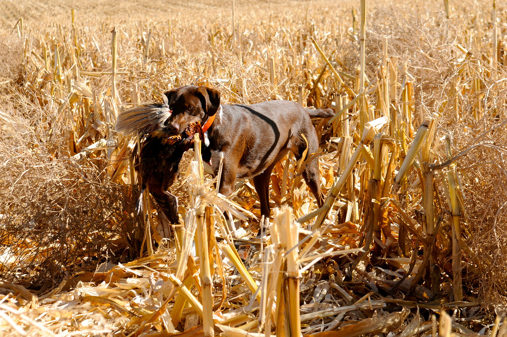 . Bailey earns her chops as a bird dog with a fine retrieve of a pheasant rooster on the 2013 opening day weekend near Holyoke. Scott Willoughby, The Denver Post