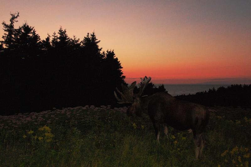 Orignal au coucher de soleil