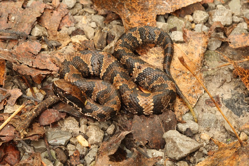 Western Cottonmouth Water Moccasin