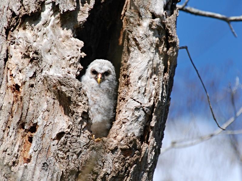 Baby Barred Owl - Lake Martin, Louisiana