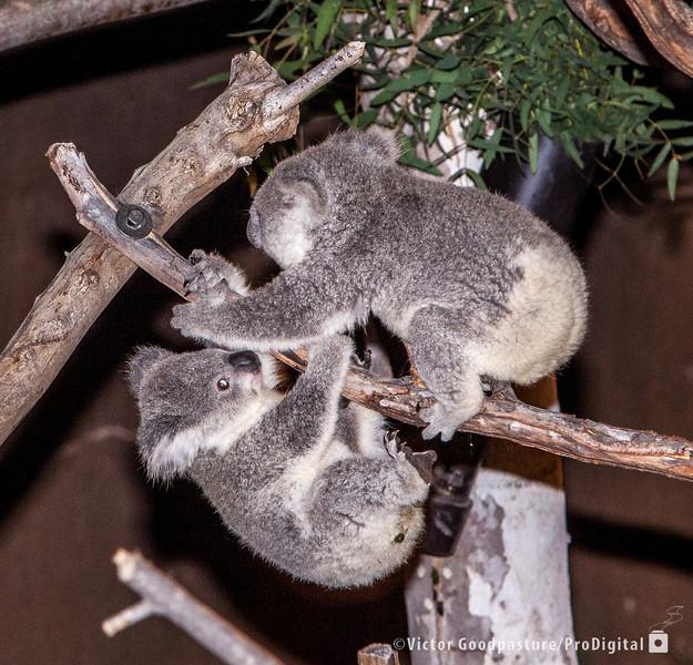 Koalafornia-45.jpg