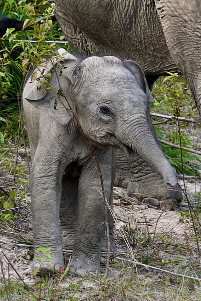 A frisky two small boy elephant in Hongsa, Loas.