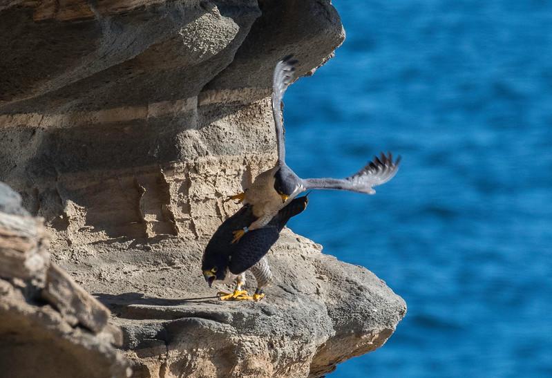 Falcons mating8.jpg