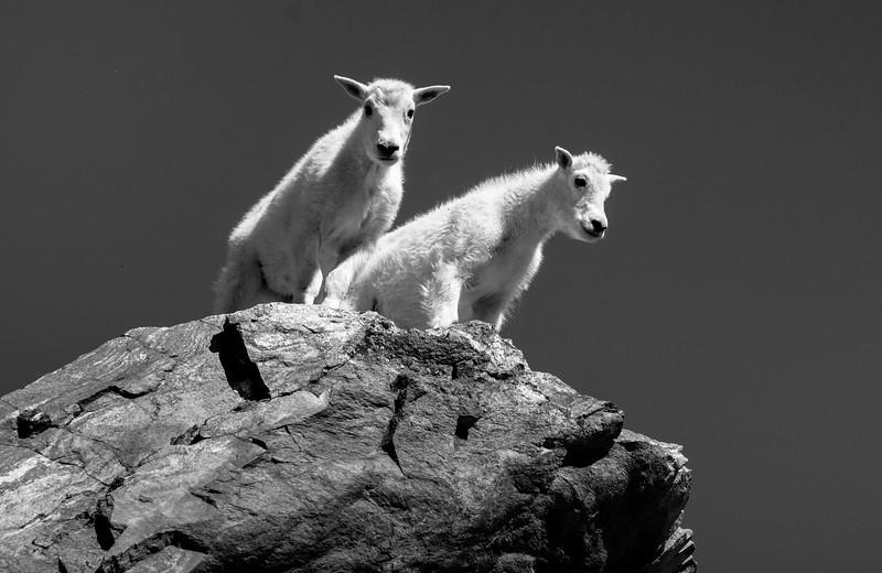 Mountain Goats_bw-5194 pse.JPG