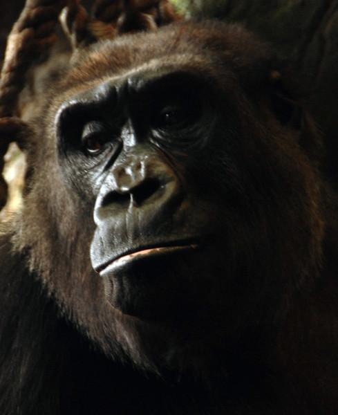04-DSC_9187 Sad Gorilla MotBlr ALA PS-001.jpg