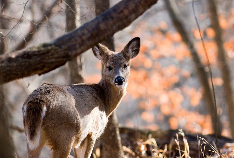 whitetailed deer005.jpg
