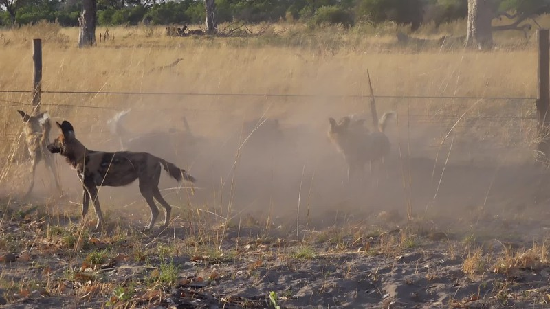 Wild Dog harassing Hyena. Bushman Plains- Botswana