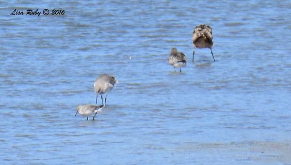 Shorebird Robb Field - 10/14/2016