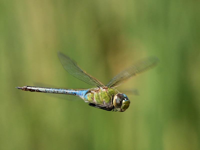 Common Green Darner - Anax Junius (M)