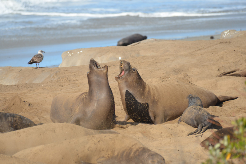 ano-nuevo-elephant-seals-2013 43.jpg