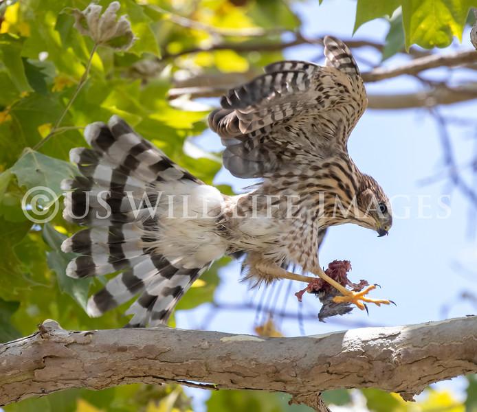 Coopers_Hawk_with_Bird_AL3I8851.jpg