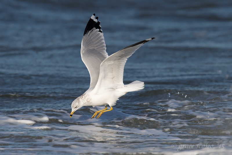 Ring-billed Gull ready to Pounce_O8U5815.jpg