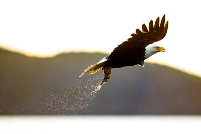 2018-06 Eagles from Zodiac - Editor's Choice