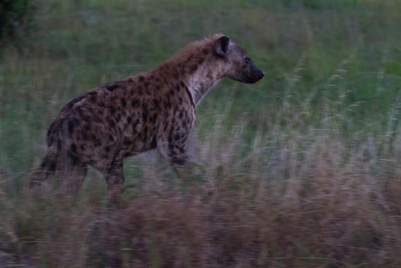 Hyena / Hyäne (Queen Elizabeth NP)